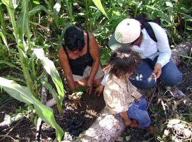 Instalación de nuevas plantaciones de cacao