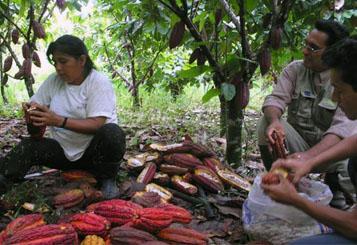 Apertura de las mazorcas del cacao