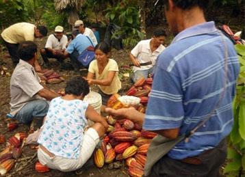 La cosecha en las cooperativas cacaoteras