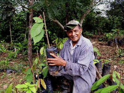 Plantones de cacao, para la producción de granos de calidad